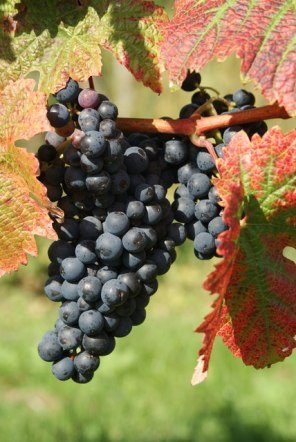 Autumn_Colour_at_Denbies_Vineyard,_Dorking,_Surrey_-_geograph.org.uk_-_1503288