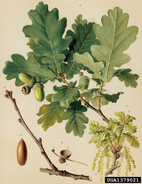 Slavonian Oak
